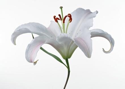 D:\уроки\картинки\лилия цветок.jpg