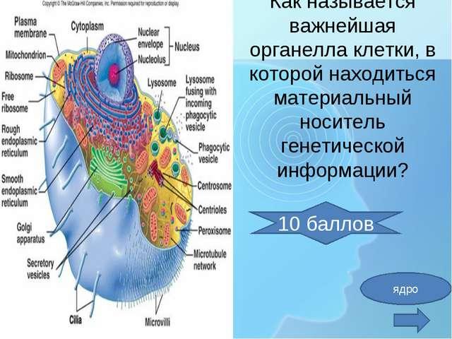 Как называется важнейшая органелла клетки, в которой находиться материальный...