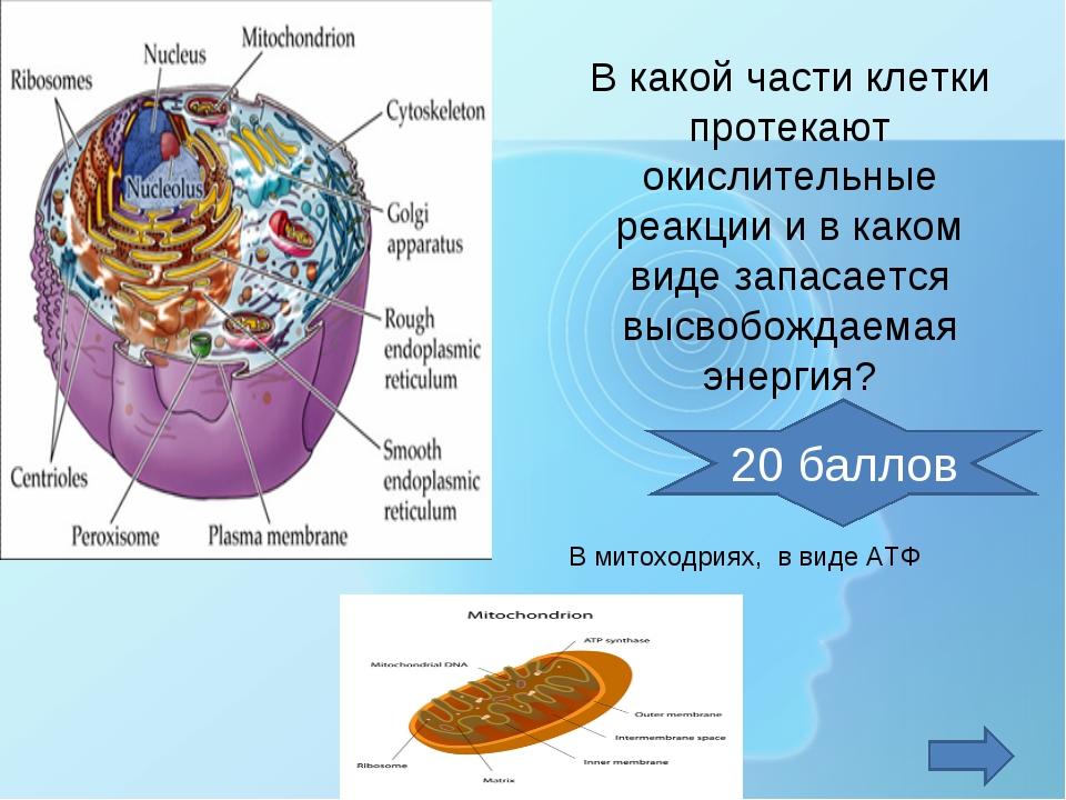 В какой части клетки протекают окислительные реакции и в каком виде запасаетс...