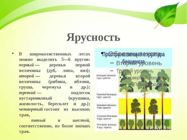 Ярусность В широколиственных лесах можно выделить 5—6 ярусов: первый— деревь...