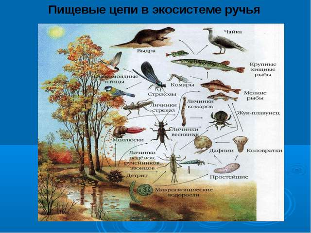 Пищевые цепи в экосистеме ручья