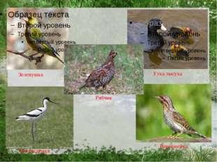 Зеленушка Рябчик Утка лысуха Шилоклювка Вертишейка
