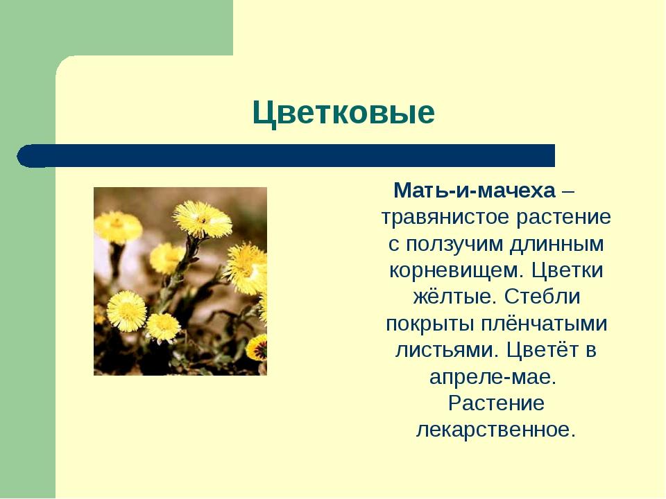 Цветковые Мать-и-мачеха – травянистое растение с ползучим длинным корневищем...