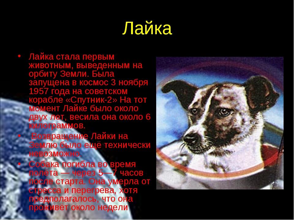 Лайка Лайка стала первым животным, выведенным на орбиту Земли. Была запущена...