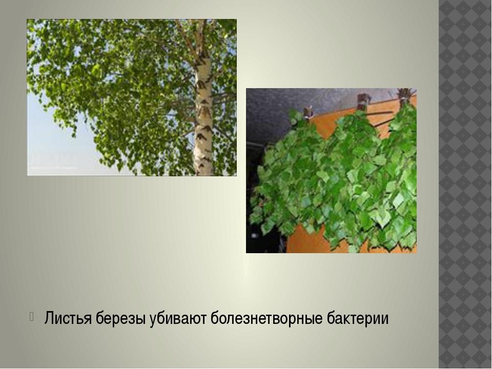 Листья березы убивают болезнетворные бактерии