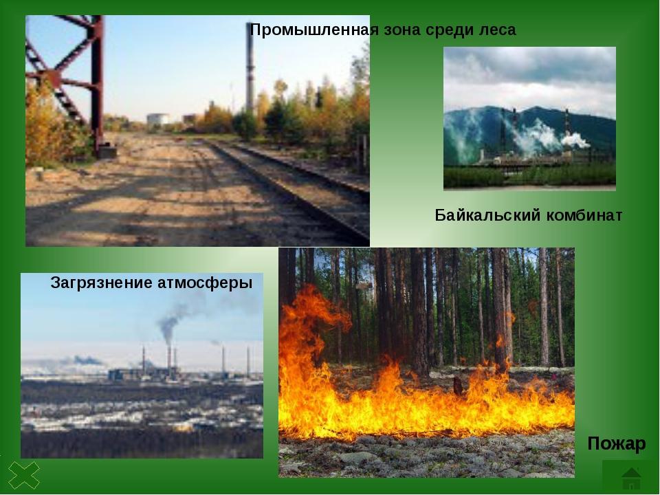 Какое дерево является самым распространенным в России? Почему предприятия лес...