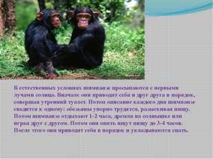 В естественных условиях шимпанзе просыпаются с первыми лучами солнца. Вначале