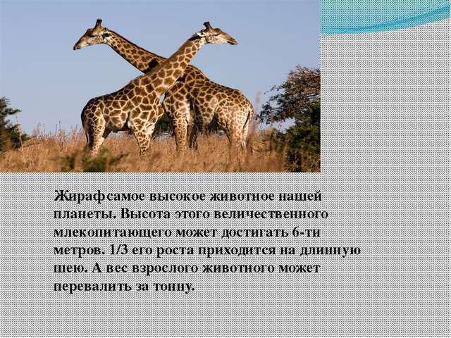 Жираф самое высокое животное нашей планеты. Высота этого величественного млек...