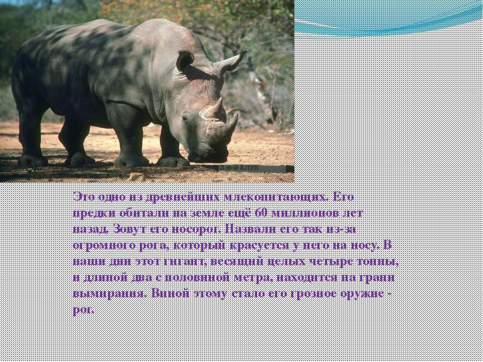 Это одно из древнейших млекопитающих. Его предки обитали на земле ещё 60 милл...