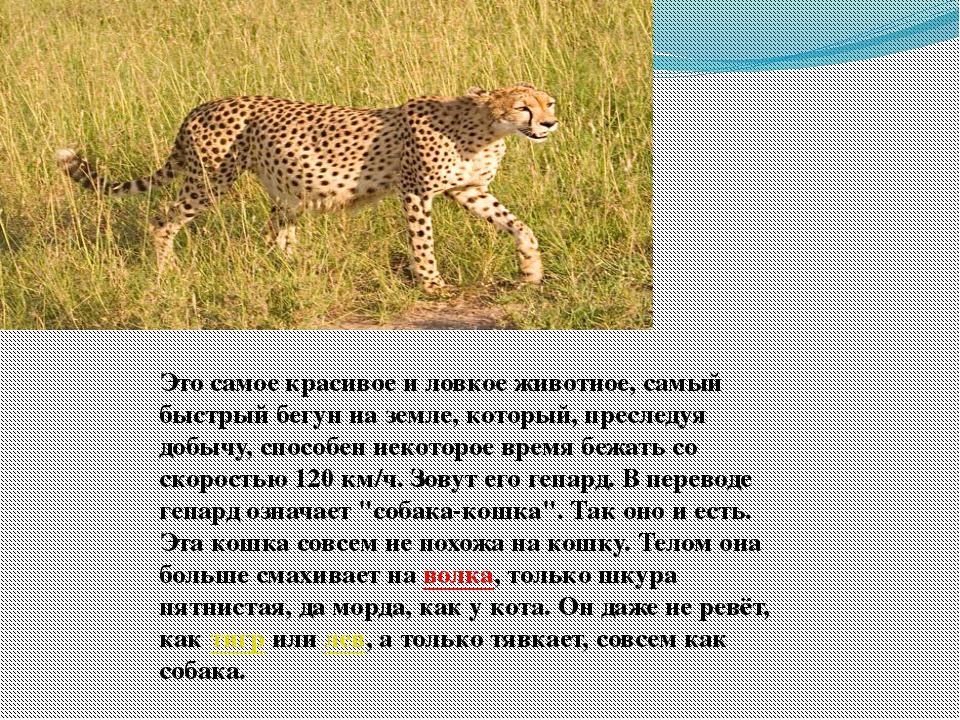 Это самое красивое и ловкое животное, самый быстрый бегун на земле, который,...