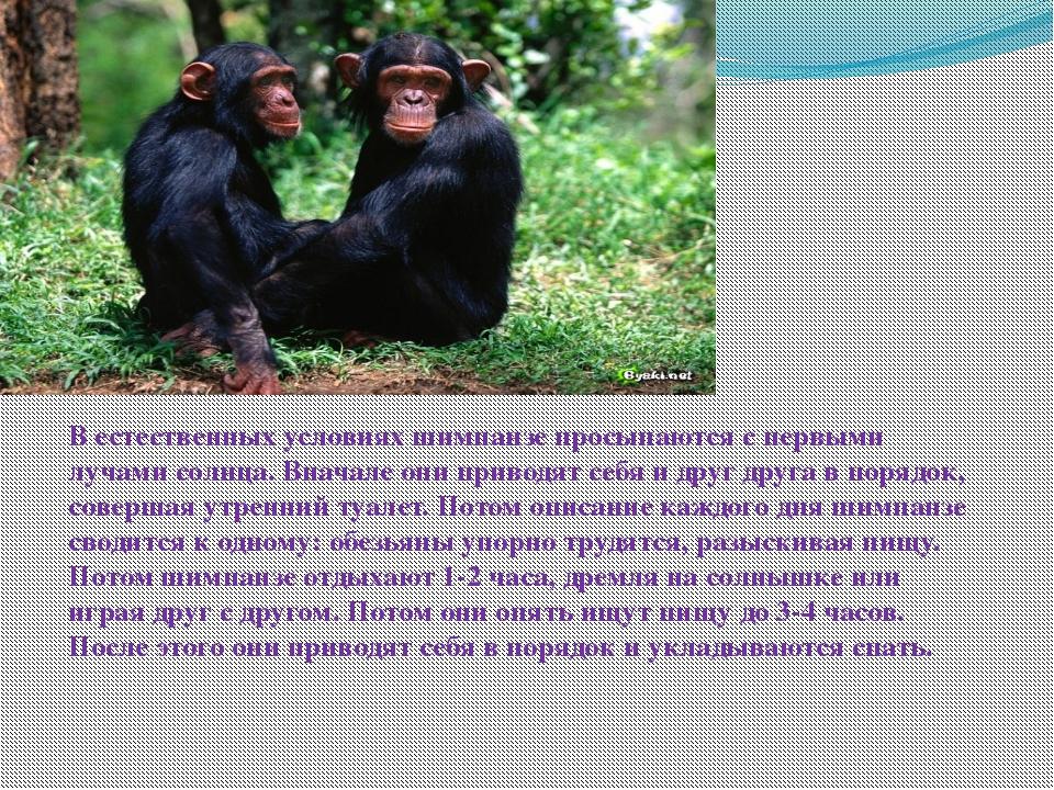В естественных условиях шимпанзе просыпаются с первыми лучами солнца. Вначале...