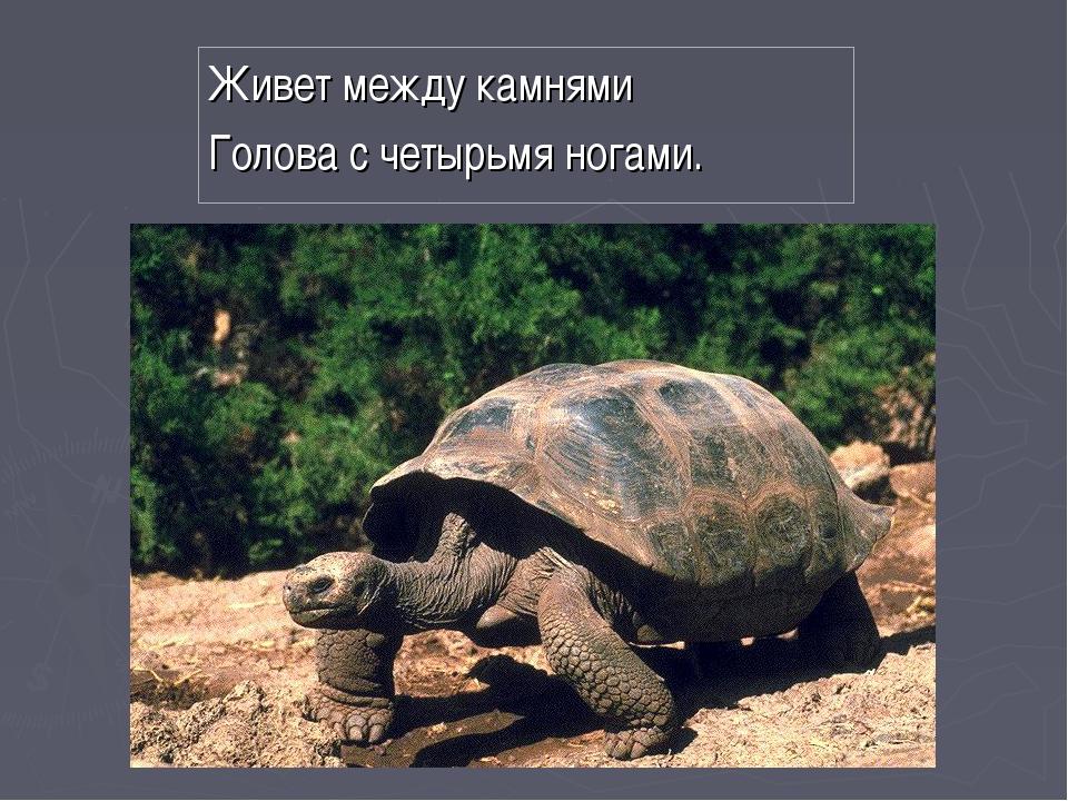 Живет между камнями Голова с четырьмя ногами.