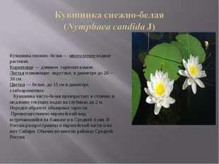 Кувшинка снежно- белая — многолетнее водное растение. Корневище — длинное, го
