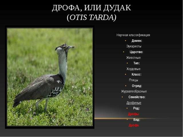 Научная классификация Домен: Эукариоты Царство: Животные Тип: Хордовые Кла...