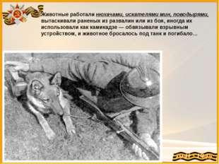 Животные работали нюхачами, искателями мин, поводырями, вытаскивали раненых и