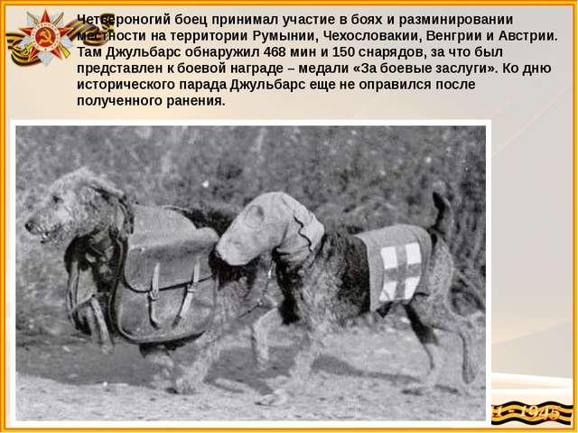Четвероногий боец принимал участие в боях и разминировании местности на терри...
