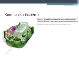 Клеточная оболочка Клеточная оболочкаимеет хорошо выраженную, относительно т
