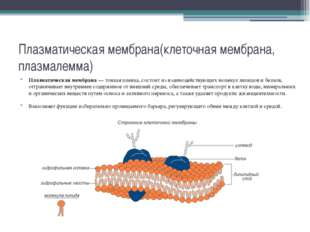 Плазматическая мембрана(клеточная мембрана, плазмалемма) Плазматическая мембр
