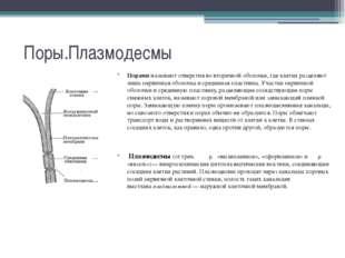 Поры.Плазмодесмы Пораминазывают отверстия во вторичной оболочке, где клетки