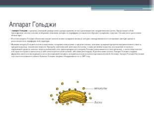 Аппарат Гольджи Аппарат Гольджи – органоид, имеющий универсальное распростран