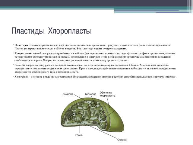 Пластиды. Хлоропласты Пластиды – самые крупные (после ядра) цитоплазматически...