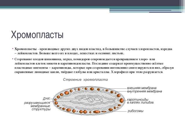 Хромопласты Хромопласты - производные других двух видов пластид,в большинств...