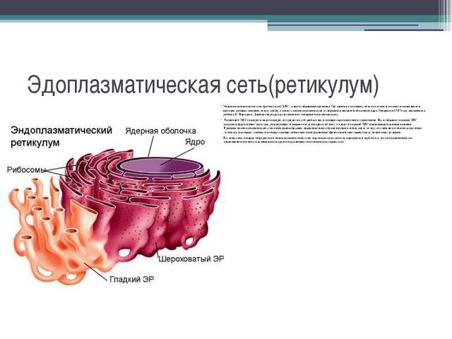 Эдоплазматическая сеть(ретикулум) Эндоплазматическая сеть (ретикулум) ЭПС - о...