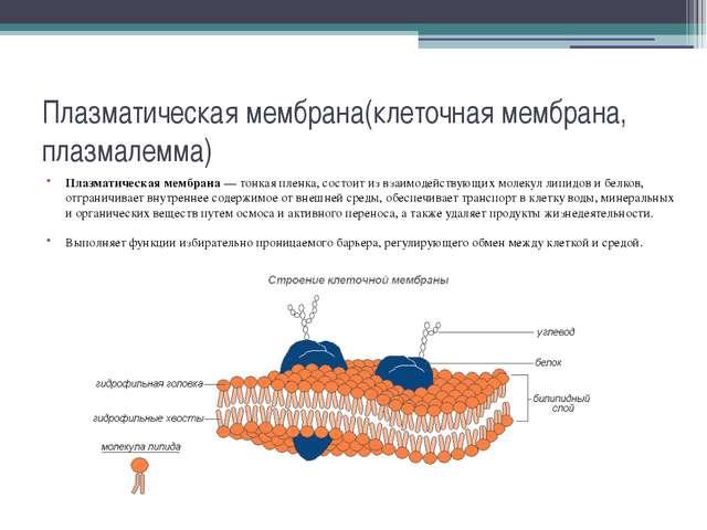 Плазматическая мембрана(клеточная мембрана, плазмалемма) Плазматическая мембр...