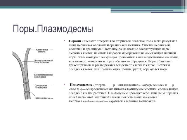 Поры.Плазмодесмы Пораминазывают отверстия во вторичной оболочке, где клетки...