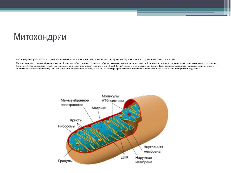 Митохондрии Митохондрии – органеллы, характерные для большинства клеток расте...