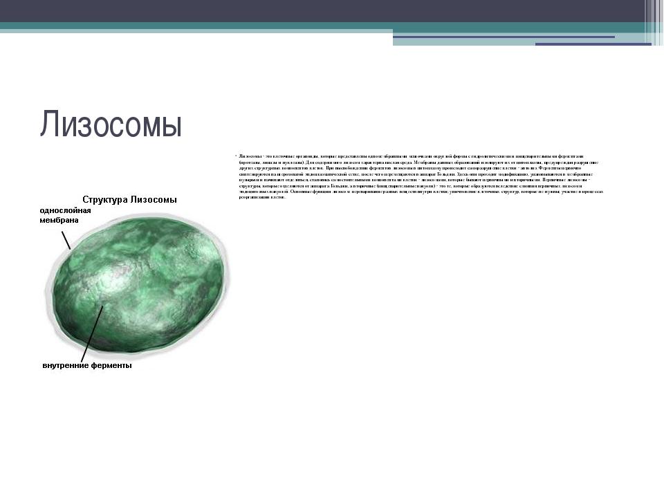 Лизосомы Лизосомы - это клеточные органоиды, которые представлены одномембран...