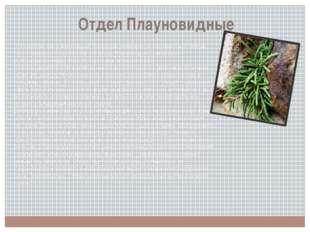 Отдел Плауновидные Эти растения, как и моховидные, произошли, возможно, от пс