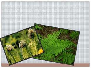 Большинство папоротников — равноспоровые растения; из одинаковых спор развива