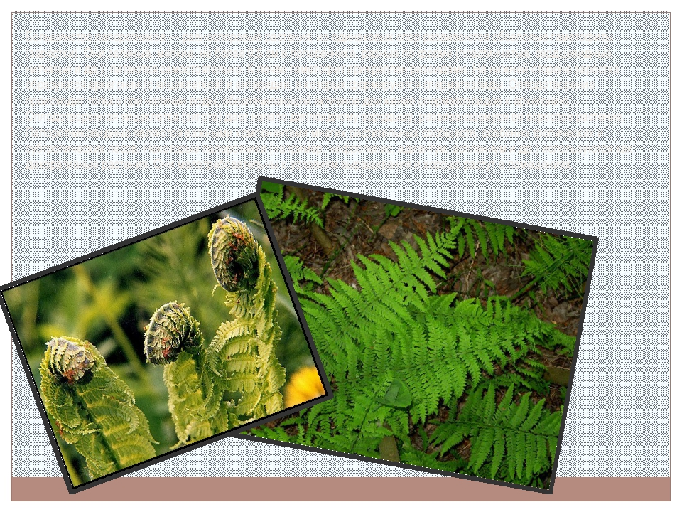 Большинство папоротников — равноспоровые растения; из одинаковых спор развива...
