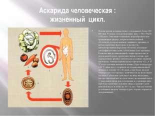 Аскарида человеческая : жизненный цикл. Половозрелая аскарида может откладыва