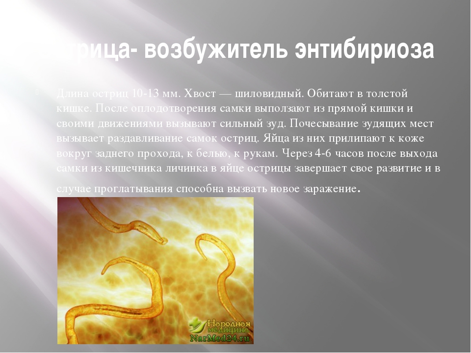 Острица- возбужитель энтибириоза Длина остриц 10-13 мм. Хвост — шиловидный. О...