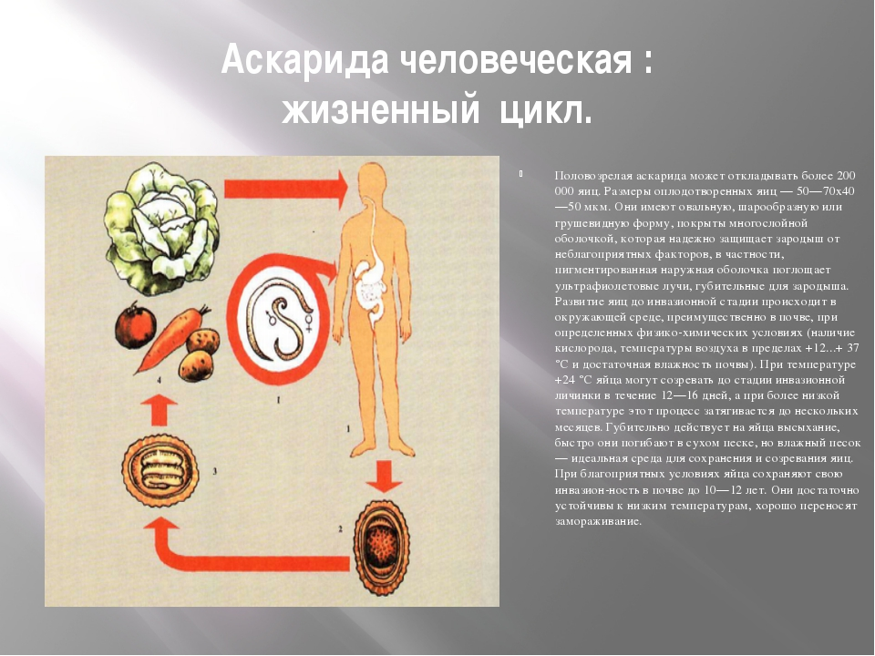 Аскарида человеческая : жизненный цикл. Половозрелая аскарида может откладыва...