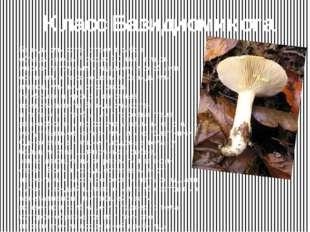 Класс Базидиомикота Базидиомикота- отдел грибов, объединяющий около 30 тыс. в