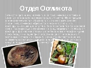 Отдел Оомикота Оомикота- организмы, вегетативное тело которых состоит из длин