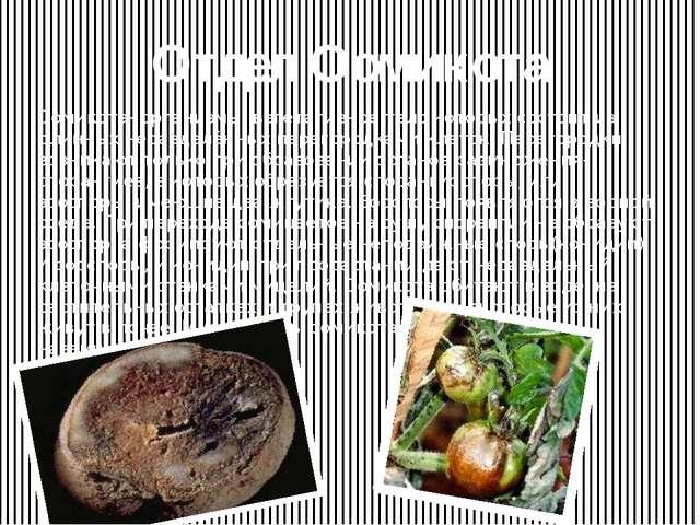 Отдел Оомикота Оомикота- организмы, вегетативное тело которых состоит из длин...