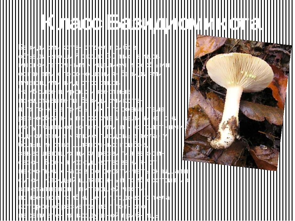 Класс Базидиомикота Базидиомикота- отдел грибов, объединяющий около 30 тыс. в...