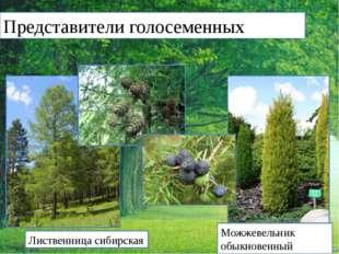 Представители голосеменных Лиственница сибирская Можжевельник обыкновенный