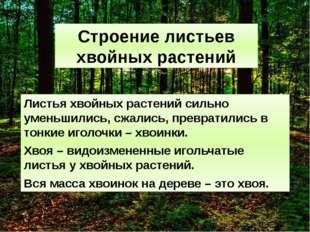 Строение листьев хвойных растений Листья хвойных растений сильно уменьшились,