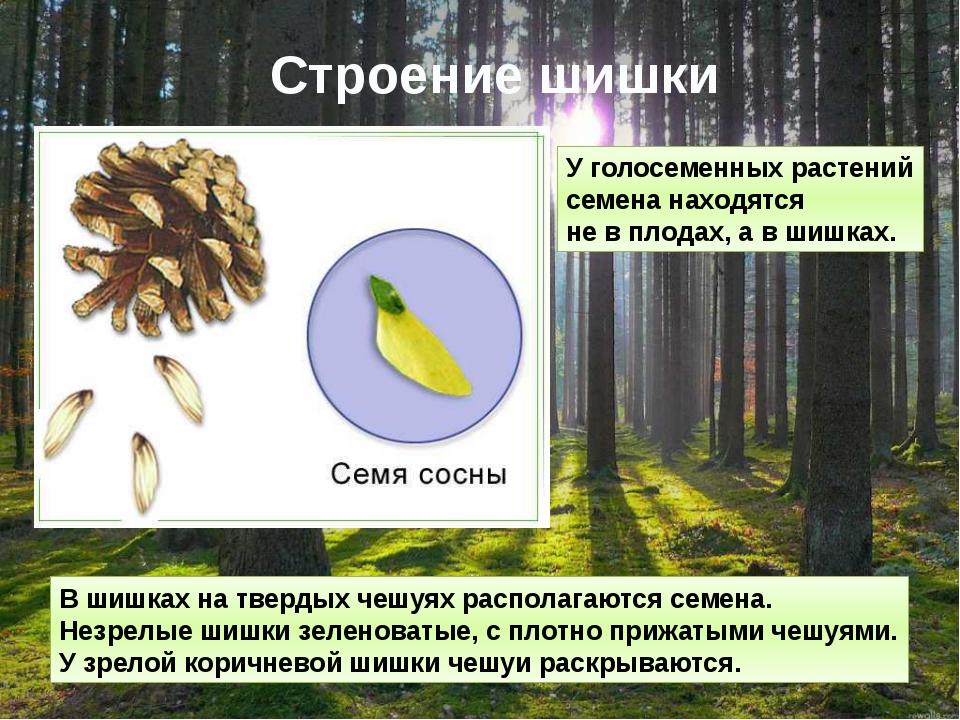 Строение шишки В шишках на твердых чешуях располагаются семена. Незрелые шишк...