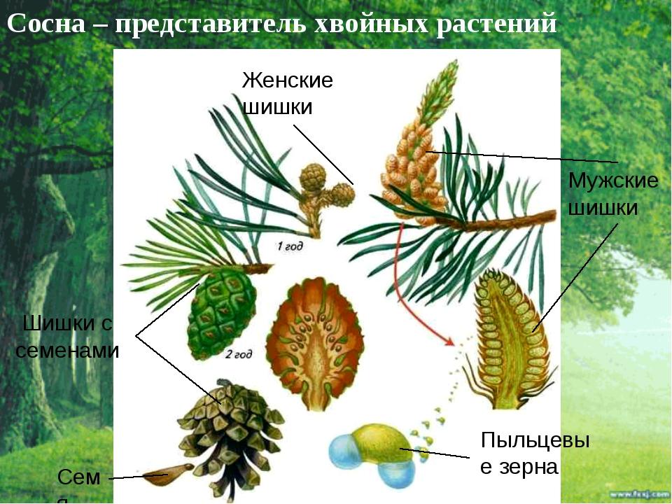 Сосна – представитель хвойных растений Мужские шишки Пыльцевые зерна Женские...