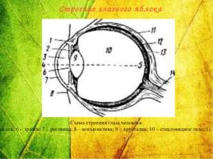 Схема строения глаза человека: 1 – ресничная мышца; 2 – радужная оболочка; 3