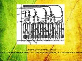 Строение сетчатки глаза: 1 – колбочки; 2 – палочки; 3 – пигментные клетки; 4