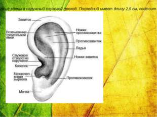 Наружное ухо состоит из ушной раковины, представляющей собой хрящевую пласти