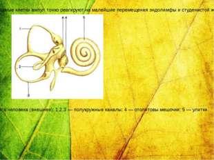 Схема строения вестибулярного аппарата человека (внешнее): 1,2,3 — полукружны