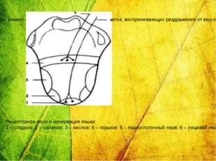 Вкусовые луковицы (почки, бокалы, рюмки) состоят из опорных и рецепторных кле